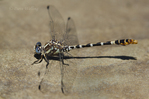 385380043 a wild male serpent ringtail erpetogomphus lampropeltis perches on a rock along piru creek at frechnman's flat camground area los angeles county california. Extensive coverage of a wide range of insect and other wildlife species, all identified by Latin name.