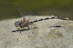 389030016 a wild male gray sanddragon dragonfly progomphus borealis perches on a rock along piru creek at frenchmans flat los angeles county california. Extensive coverage of a wide range of insect and other wildlife species, all identified by Latin name.