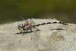 389030017 a wild male gray sanddragon dragonfly progomphus borealis perches on a rock along piru creek at frenchmans flat los angeles county california. Extensive coverage of a wide range of insect and other wildlife species, all identified by Latin name.