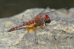 389190008 a wild male red rock skimmer paltothemis lineatipes perches on a rock along piru creek at frenchman's flat los angeles county california. Extensive coverage of a wide range of insect and other wildlife species, all identified by Latin name.