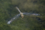 389190009 a wild female red rock skimmer paltothemis lineatipe hovers over piru creek at frechnman's flat camground area los angeles county california. Extensive coverage of a wide range of insect and other wildlife species, all identified by Latin name.