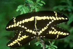 390410003 a wild pair of giant swallowtail butterflies heraclides cresphontes mate while perched on a mesquite tree in the lower rio grande valley of south texas united states. Extensive coverage of a wide range of insect and other wildlife species, all identified by Latin name.