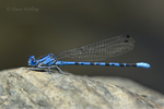 338610014 a ild male vivid dancer argia vivida perches on a rock along piru creek at frechnman's flat camground area los angeles county california. Extensive coverage of a wide range of insect and other wildlife species, all identified by Latin name.