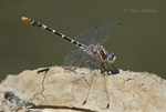 385380047 a wild male serpent ringtail erpetogomphus lampropeltis perches on a rock along piru creek at frechnman's flat camground area los angeles county california. Extensive coverage of a wide range of insect and other wildlife species, all identified by Latin name.