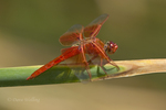 389310024 a wild male flame skimmer libellula saturata perches on a cattail reed along piru creek at frenchmans flat los angeles county california united states. Extensive coverage of a wide range of insect and other wildlife species, all identified by Latin name.