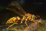 397568008 a wild paper wasp polistes apachus floats on a small pond in a face-off with a much smaller waterbug in the rio grande valley texas united states. Extensive coverage of a wide range of insect and other wildlife species, all identified by Latin name.