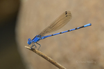 338430010 a wild male california dancer argia argioides perches on a dead stick along piru creek near frenchmans flats los angeles county california united states. Extensive coverage of a wide range of insect and other wildlife species, all identified by Latin name.