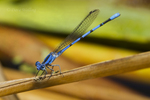 338430013 a wild male california dancer argia argioides perches on a reed along piru creek near frenchmans flats los angeles county california united states. Extensive coverage of a wide range of insect and other wildlife species, all identified by Latin name.