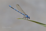 338430015 a wild male california dancer argia argioides perches on a reed along piru creek near frenchmans flats los angeles county california united states. Extensive coverage of a wide range of insect and other wildlife species, all identified by Latin name.