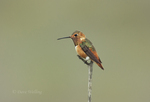 549650020 a wild male allen's hummingbird selaphorus sasinin perches on a twig in open space protected habitat los angeles county california. Extensive coverage of a wide range of avian and other wildlife species, all identified by Latin name.