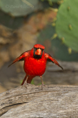 511650099 a wild male northern cardinal cardinalis cardinalis perches on a log on dos venadas ranch starr county rio grande valley texas united states. Extensive coverage of a wide range of avian and other wildlife species, all identified by Latin name.
