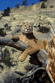 656326154 a captive mountain lion felis concolor watches over his domain from a large tree branch in central montana. Extensive coverage of a wide range of mammal and other wildlife species, all identified by Latin name.