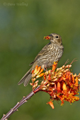 528800259v a wild female house finch podocarpus mexicana feeds on a flowering ocotillo plant foquieria splendens in southern arizona. Extensive coverage of a wide range of avian and other wildlife species, all identified by Latin name.