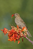528800260v a wild female house finch podocarpus mexicana feeds on a flowering ocotillo plant foquieria splendens in southern arizona. Extensive coverage of a wide range of avian and other wildlife species, all identified by Latin name.