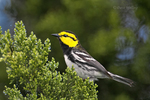 591850040 a wild federally endangered male golden-cheeked warbler setophaga chrysoparia - was dendroica chrysoparia - perches in a fir tree in the texas hill country texas united states. Extensive coverage of a wide range of avian and other wildlife species, all identified by Latin name.