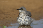 559420045 a wild northern mockingbird mimus polyglottos bathes in  small pond on laguna seca ranch near edinburg texas united states. Extensive coverage of a wide range of avian and other wildlife species, all identified by Latin name.