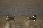 559287009 a male and female hooded merganser lophodytes cucullatus at the edge of an estuary near santa barbara california. Extensive coverage of a wide range of avian and other wildlife species, all identified by Latin name.
