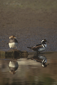 559287014 a male and female hooded merganser lophodytes cucullatus at the edge of an estuary near santa barbara california. Extensive coverage of a wide range of avian and other wildlife species, all identified by Latin name.