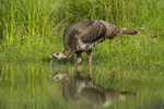 583010092 a wild turkey meleagris gallopova drinks from a small pond on laguna seca ranch in the rio grande valley of south texas. Extensive coverage of a wide range of avian and other wildlife species, all identified by Latin name.