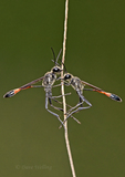397650003a a wild pair of thread-waisted wasps genus ammophila perch on a stick at southeast regional park austin texas united states. Extensive coverage of a wide range of insect and other wildlife species, all identified by Latin name.