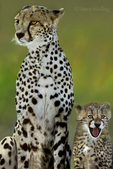 615004011 wild adult and cub cheetahs acinonyx jubatus stick close together on the open veldt in masai mara national park in kenya. Extensive coverage of a wide range of mammal and other wildlife species, all identified by Latin name.