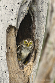 563990053 a wild ferruginous pygmy owl glassidium brasilianum peers out from a cavity nest in a tree on a private ranch in tamaulipas state mexico. Extensive coverage of a wide range of avian and other wildlife species, all identified by Latin name.