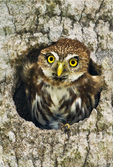 563990061a a wild ferruginous pygmy owl glassidium brasilianum peers out from a cavity nest in a tree on a private ranch in tamaulipas state mexico. Extensive coverage of a wide range of avian and other wildlife species, all identified by Latin name.