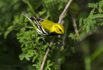 591400030 a wild male black-throated green warbler setophaga virens songbird on south padre island texas united states. Extensive coverage of a wide range of avian and other wildlife species, all identified by Latin name.