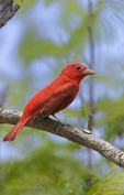 580980008 a wild male summer tanager piranga rubra songbird perches on a small limb on south padre island cameron county texas. Extensive coverage of a wide range of avian and other wildlife species, all identified by Latin name.