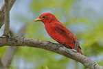 580980021 a wild male summer tanager piranga rubra songbird perches on a small limb on south padre island cameron county texas. Extensive coverage of a wide range of avian and other wildlife species, all identified by Latin name.