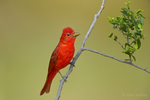 580980028 a wild male summer tanager piranga rubra perches on a small limb at laguna seca ranch in the rio grande valley of south texas. Extensive coverage of a wide range of avian and other wildlife species, all identified by Latin name.