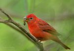 580980029 a wild male summer tanager piranga rubra perches in a small tree eating a large grub on south padre island cameron county texas united states. Extensive coverage of a wide range of avian and other wildlife species, all identified by Latin name.