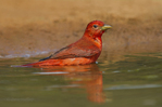 580980034 a wild male summer tanager piranga rubra bathes in a small pond at laguna seca ranch in the rio grande valley of south texas. Extensive coverage of a wide range of avian and other wildlife species, all identified by Latin name.