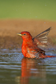 580980038 a wild male summer tanager piranga rubra bathes in a small pond on the laguna seca ranch in the rio grande valley of south texas. Extensive coverage of a wide range of avian and other wildlife species, all identified by Latin name.