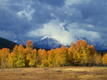 749450300 aspens populus tremuloides in reddish gold fall color frame the base of mount moran and the tetons shrouded in clouds from a thunderstorm in grand tetons national park wyoming. extensive coverage of numerous north american parks and other geographic locations.