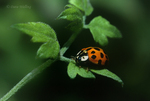 347900001 a wild nine-spotted ladybug coccinella novemnotatus. Extensive coverage of a wide range of insect and other wildlife species, all identified by Latin name.