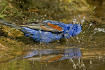 538680033 a wild male blue grosbeak guiaca caerulea bathes in a small pond in the rio grande valley of south texas. Extensive coverage of a wide range of avian and other wildlife species, all identified by Latin name.