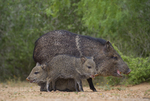 650520298 wild javelinas or collared peccaries dicolytes tajacu forage near a waterhole on santa clara ranch in starr county rio grande valley texas united statesExtensive coverage of a wide range of mammal and other wildlife species, all identified by Latin name.