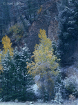 749450283 narrowleaf cottonwoods populus angustifolia in brilliant yellow fall color are draped with ta light dusting of snow from a late fall storm in grand tetons national park wyoming. extensive coverage of numerous north american parks and other geographic locations.