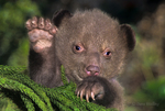 609650001 a wildlife rescue three week old american black bear cub ursus americanus appears to be waving species is native to north america