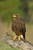 541950080 a wild adult harris hawk parabuteo unicinctus perches on a dead tree limb on a ranch in the rio grande valley of south texas. Extensive coverage of a wide range of avian and other wildlife species, all identified by Latin name.