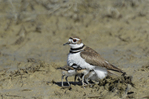 554550032 a wild adult killdeer charadrius vociferous provides protection for its very young chicks in a dry lake bed in ventura county california united states. Extensive coverage of a wide range of avian and other wildlife species, all identified by Latin name.