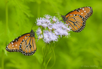 379900015 two wild queen butterfllies danus glippus perches on a mistflower conoclinium coelestinum in the rio grande valley hidalgo county south texas united states. Extensive coverage of a wide range of insect and other wildlife species, all identified by Latin name.