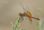 362700039 male band-winged meadowhawk sympetrum semicintum wild california. Extensive coverage of a wide range of flora and fauna species, all identified by Latin name.