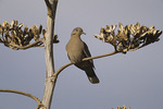 White-winged Dove in Agave in May.