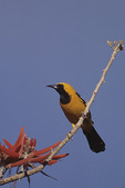 Male Hooded Oriole in Coral Bean in May.