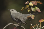 Gray Catbird in Hawthorn on fall migration in October. The Gray Catbird nest in North America and winters as far south as the neotropics.