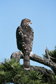 Young Cooper's Hawk in July with tail feathers still not fully grown.