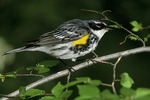 Adult male Yellow-rumped Warbler on spring migration in early May.