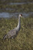 Adult Sandhill Crane in freshwater wetland in November.